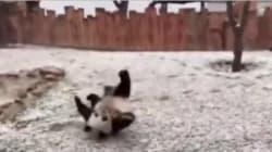VIDEO: Dos pandas enloquecen de alegría al conocer la