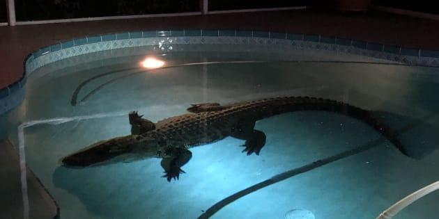 Un alligator de plus de 3 mètres est venu faire trempette dans la piscine de cette famille