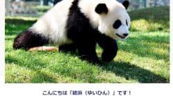 赤ちゃんパンダ、上野のシャンシャンだけじゃない。和歌山アドベンチャーワールドには結浜(ユイヒン)がいるよ
