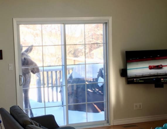 Moose watching Olympics is the most Canadian thing