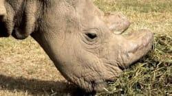 Él es el último rinoceronte blanco del norte que habita en la tierra, y está en