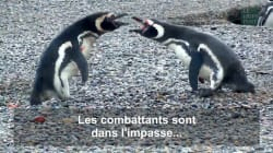 Une bagarre passionnelle entre pingouins traumatise