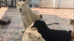 VIDEO: Rescatan a tres leones que vivían en azotea de