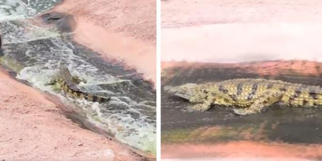 Quem disse que um crocodilo não pode se divertir?