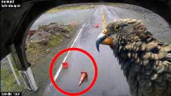 Ces perroquets barrent la route aux touristes pour avoir à