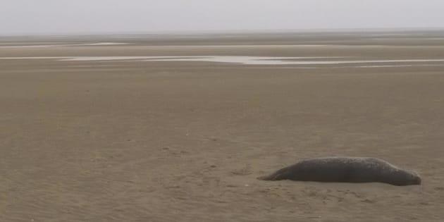 Un phoque battu puis tué au fusil de chasse au Touquet, une association porte plainte