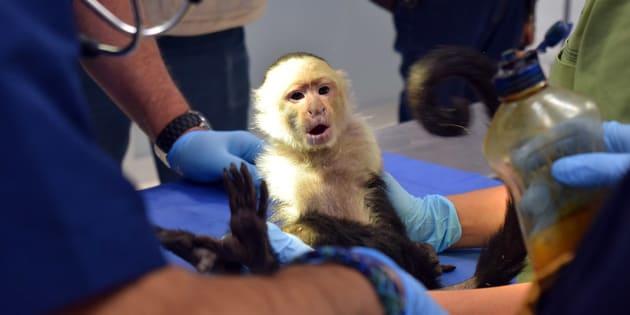 El ejemplar de mono capuchino fue localizado el 27 de marzo trepado en la copa de un árbol, en las calles de Lomas de Chapultepec, y fue rescatado el 10 de abril por personal de la Profepa en coordinación con la Brigada de Vigilancia Animal y la Fundación Antonio Haghenbeck.