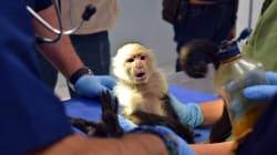 El mono capuchino se quedará a vivir en el Zoológico de