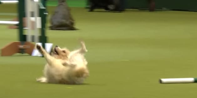 A Jack Russell terrier named Olly became internet gold thanks to a hilariously bad performance at a dog show on Friday/