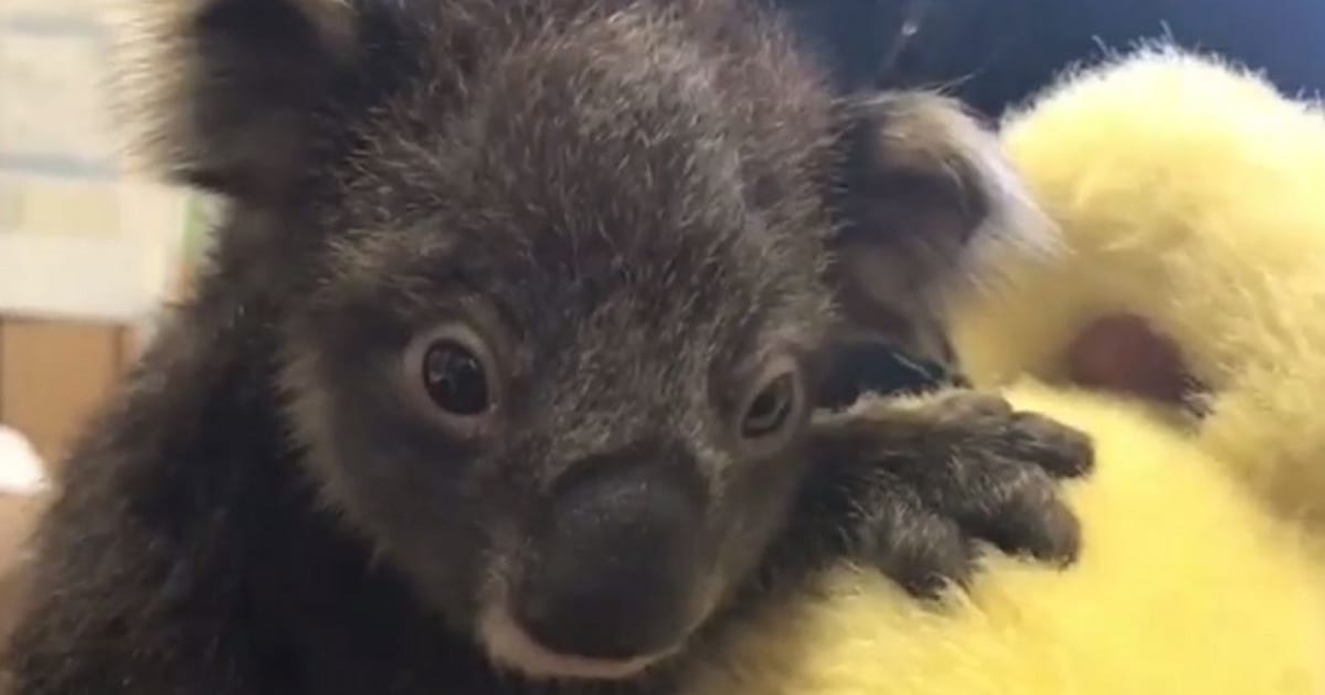 Image result for orphan baby koala cuddling teddy bear