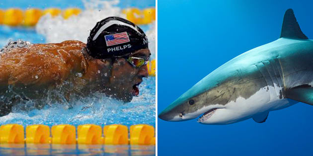 Phelps loses to a great white shark in 100m race