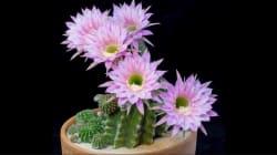 Voici comment s'ouvrent des fleurs de cactus (et c'est