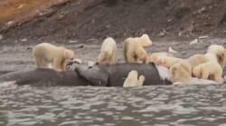 VIDEO: Mira cómo devoran a una ballena estos osos