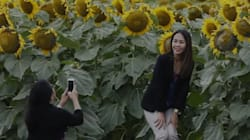 Selfie-Takers Are Messing Up Sunflower Crops, Says Winnipeg
