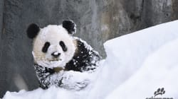 Pandas Are The Only Calgarians Truly Enjoying The Early