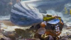 Resourceful Octopus Escapes Shark By Using Armor Made Of