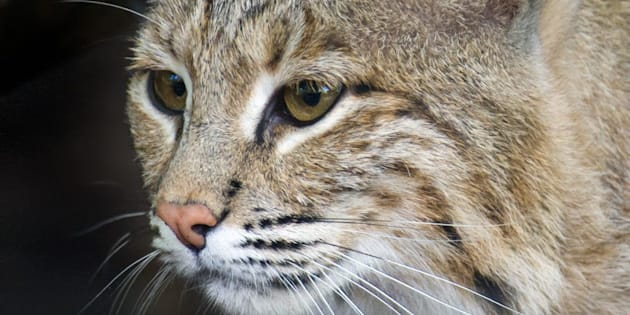 A 25-pound female bobcat named Ollie escaped from the Smithsonian's National Zoo in Washington, D.C., on Monday.
