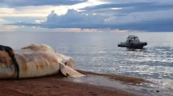 10th Dead Whale Washes Up In Gulf Of St.