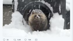 寒さに震えるエゾタヌキが可愛すぎるからみんな見て!