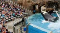 SeaWorld's Last Orca Calf Born In Captivity Has