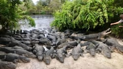 Gator Park Preps 2,000 Alligators For Irma, Promises None Will