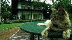 Os 54 gatos de Hemingway enfrentaram o furacão Irma em um 'forte de