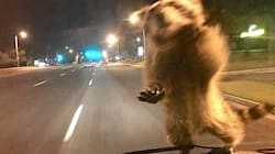 Gutsy Raccoon Gives New Meaning To 'Police