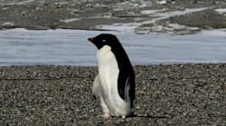 Scientists Press For Marine Sanctuary After Massive Penguin Chick
