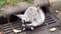 Chunky Raccoon Stuck In Grate Rescued By Local