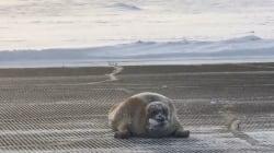 Huge Bearded Seal Blocks Airport Runway In