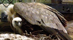 Two Queer Vultures Become Parents After Hatching Abandoned