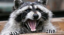 Zoo Sues Studio For Traumatising Raccoon Used In 'Erotic'