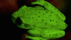 World's First Fluorescent Frog