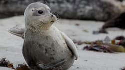 Drones Are Bugging Seals Pupping On A California Sanctuary