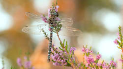 Some Female Dragonflies Fake Death To Avoid