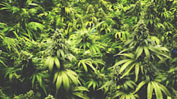 Cannabis Is Able To Reverse Ageing In The