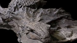 Canada Unveils 'Dinosaur Mummy' Found With Skin And Gut Contents