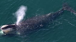 Le rarissime balene del Nord Atlantico rischiano di estinguersi a causa delle trivellazioni autorizzate da