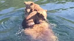 Adorable Bear Cubs Hitch A Ride On Mom's Back Across An Alaska