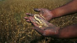 Extreme Weather Takes A Toll On Wheat Harvests. Climate Change Will Make It