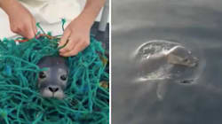 Tiny Seal Pup Found Tangled In Fishing Net Saved In Heartwarming