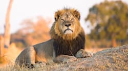 Trophy Hunter Kills Cecil The Lion's Son Outside National