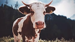 A Cow's 'Mind Blowing' Ability To Fight HIV Could Lead To A Human
