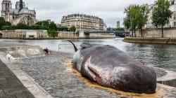 Así es como una ballena terminó a las orillas del río Sena en