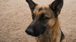 German Shepherds Are Dying Of Painful Conditions Caused By Selective