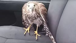 'Harvey The Hurricane Hawk' Hunkers Down With Cabbie During