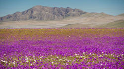 The World's Driest Desert Blooms With Hundreds Of Flowers After Rare