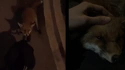 Cet adorable renard avait besoin