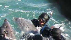 Une mère tente de sauver son bébé dauphin de la capture des hommes dans la