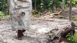 El vídeo de un orangután disfrazado que te va a alegrar el